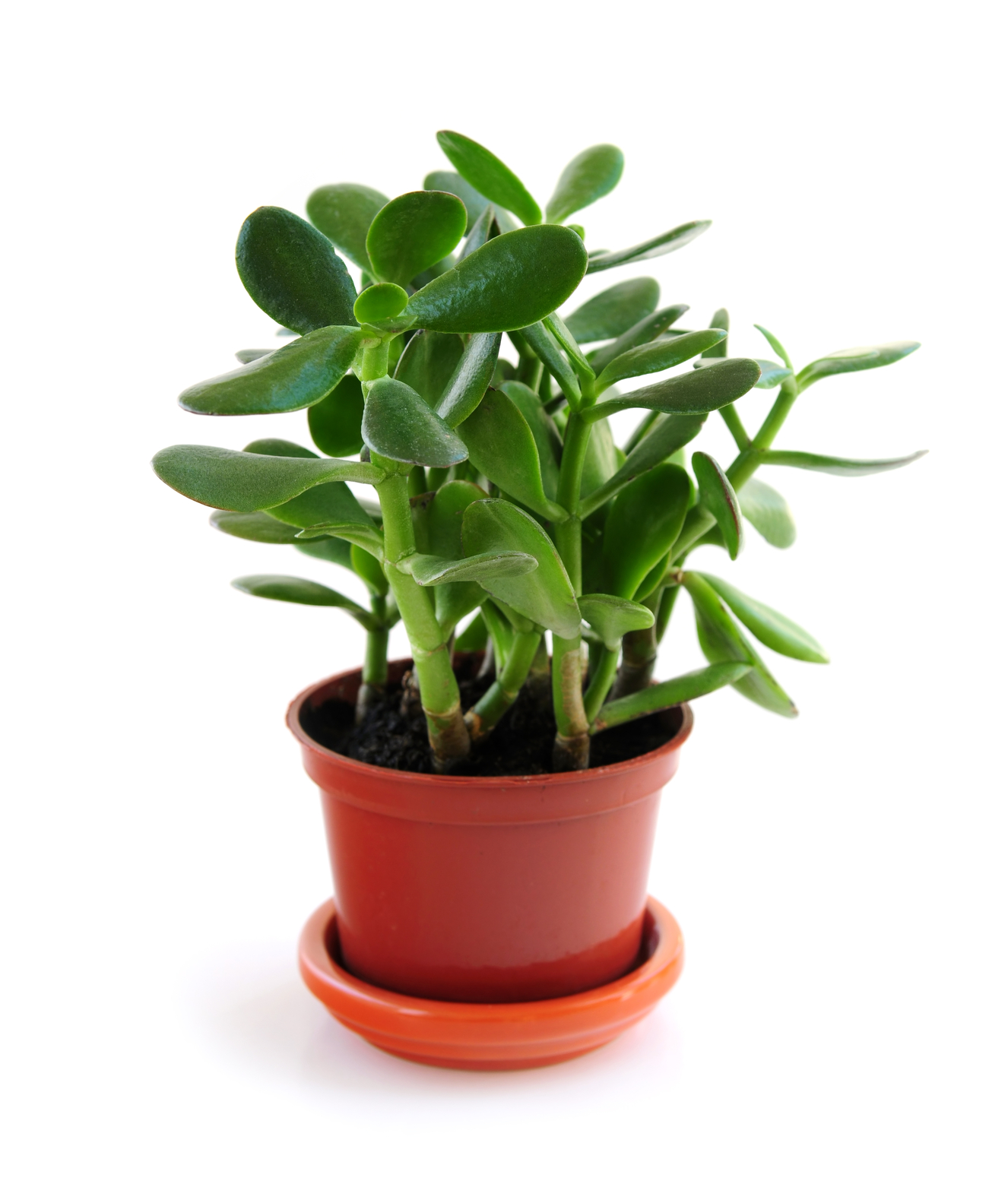 Easy Care Indoor Trees Jade Plants How To Plant Grow And Care For Jade Plants