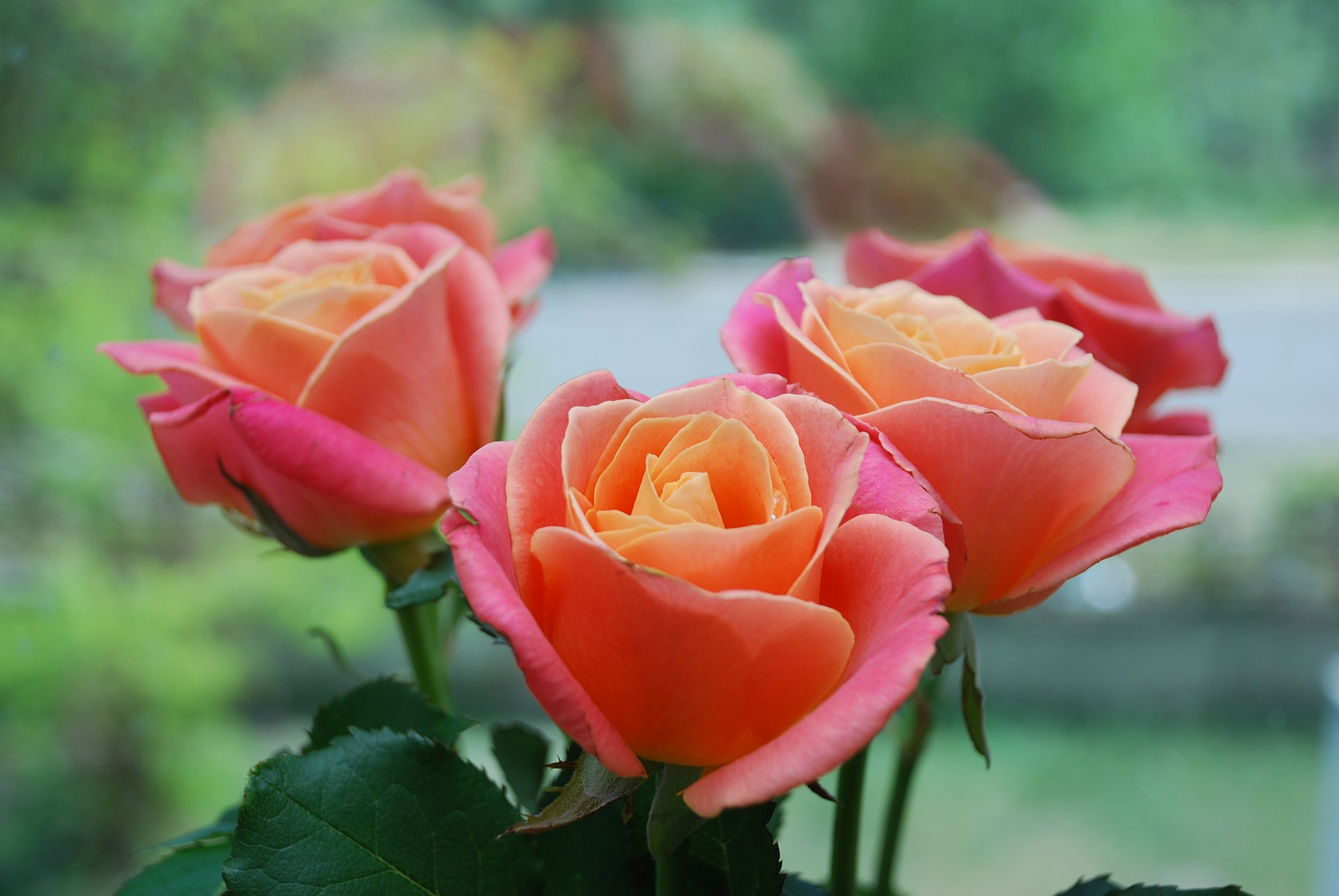 Rose Year Of The Rose Best Types Of Roses Old Farmer S Almanac