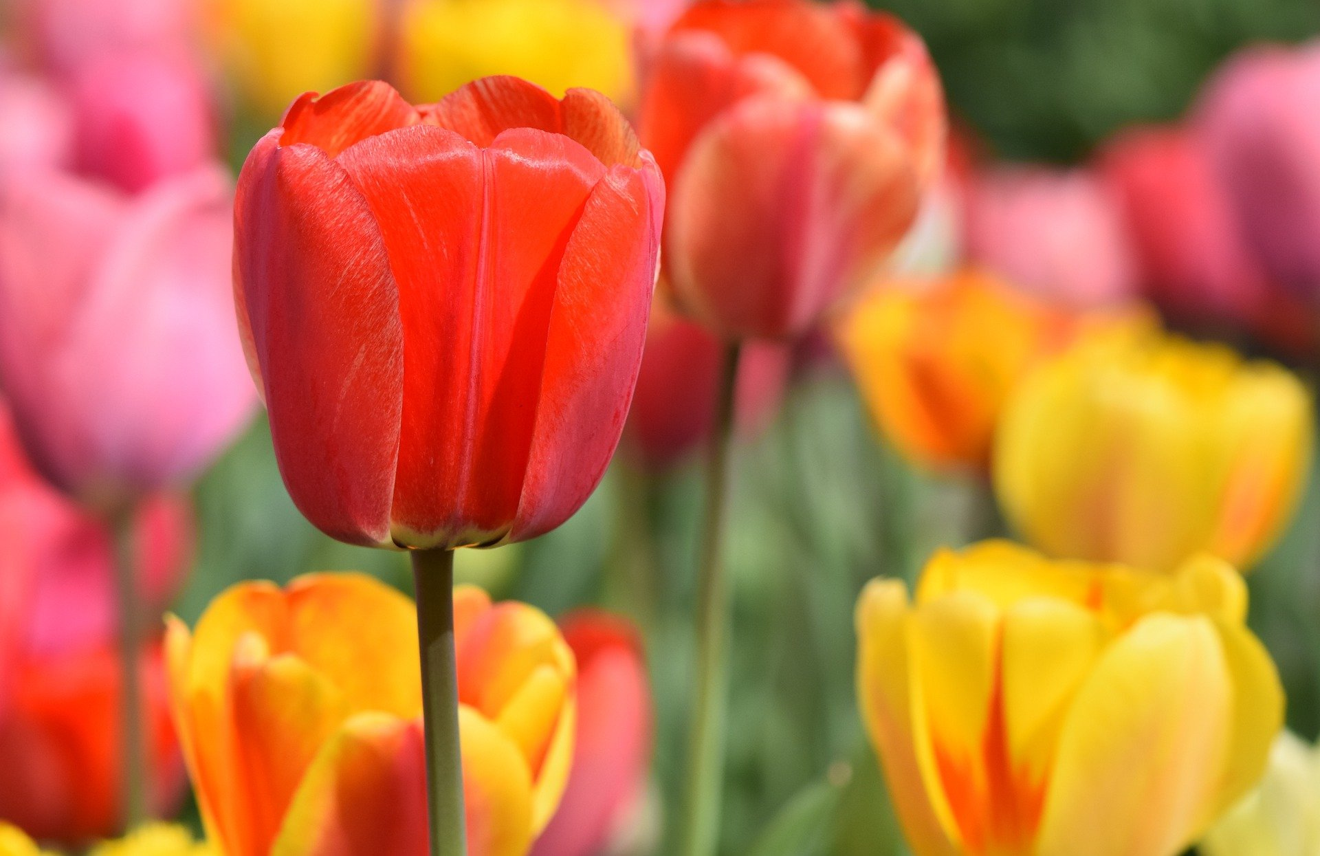 Growing Tulips How To Plant Grow And Care For Tulip Flowers The Old Farmer S Almanac