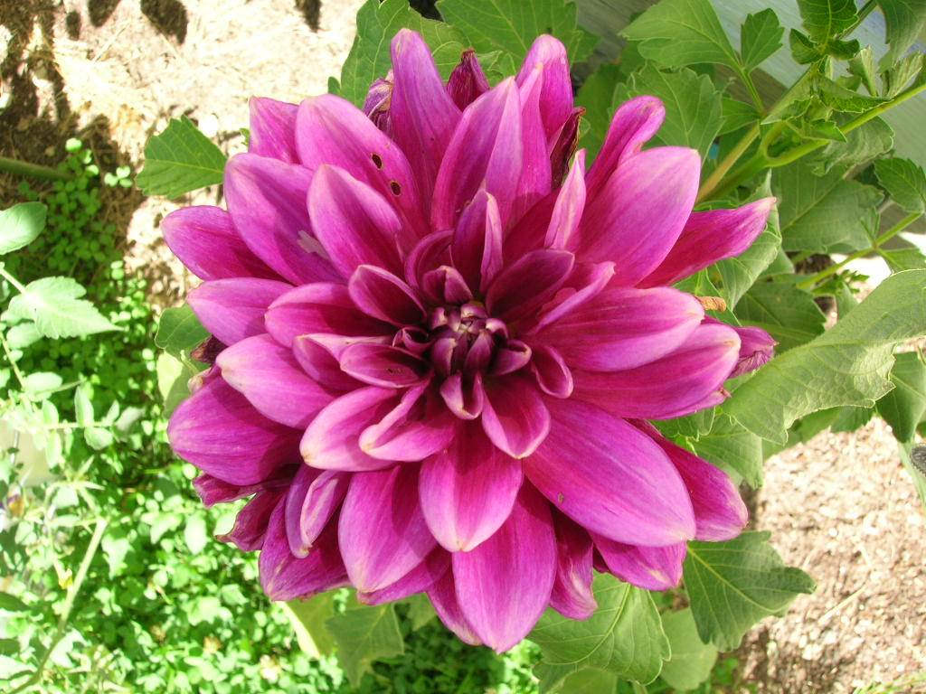 Dahlia Flower Dahlias How To Plant Grow And Care For Dahlia Flowers