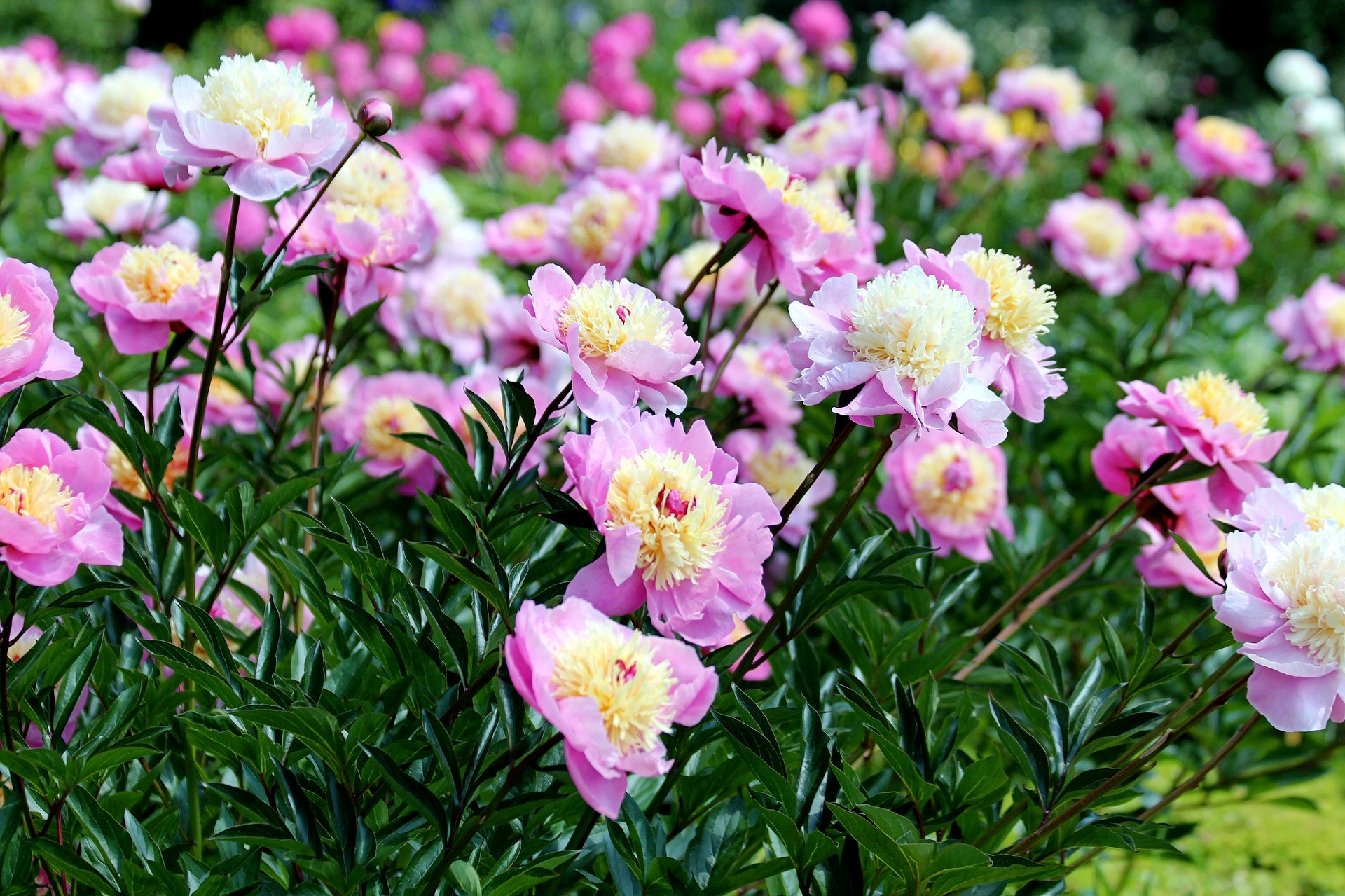 Pianese Flowers Peonies Planting Growing And Caring For Peony Flowers The Old
