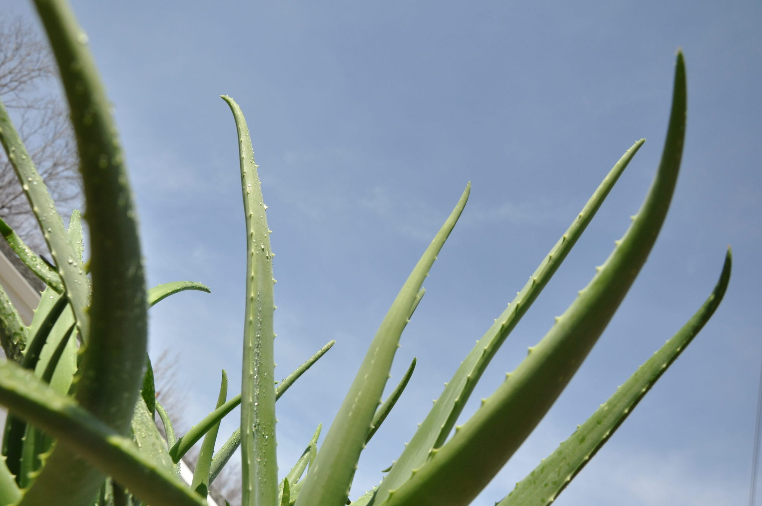 Aloe Vera Kaktus How To Care For Aloe Vera Plant