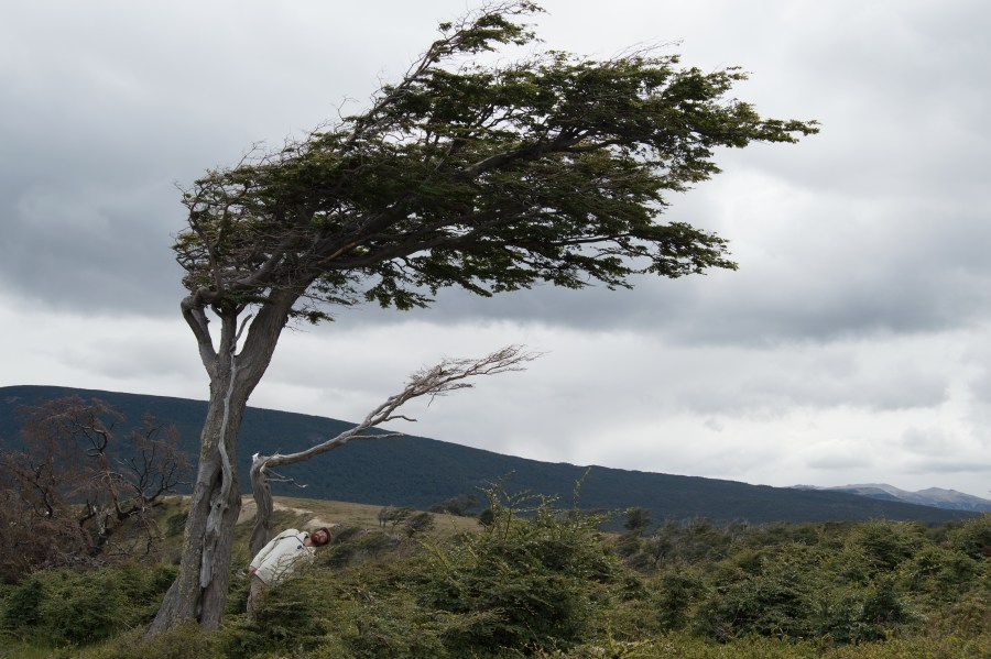 "Bonus picture of a Patagonian ""flag tree"". They grow sideways because of the constant heavy winds in the region."