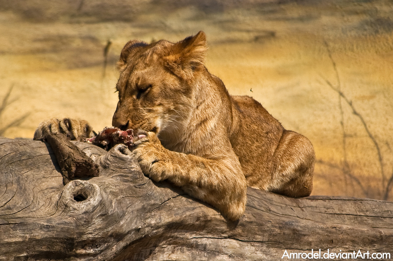Cute Baby And Mother Wallpaper Beautiful Photos Of Lion Cubs You Must Not Miss Utterly
