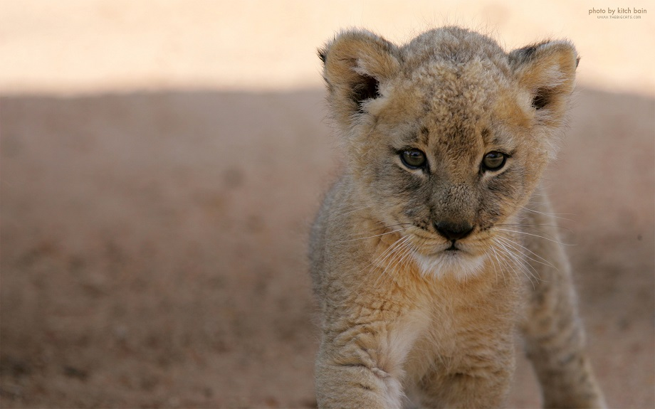 Cute Lion Cubs Hd Wallpapers Beautiful Photos Of Lion Cubs You Must Not Miss Utterly