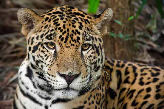 3d Effect Live Wallpapers The Big Cats Of Belize Belize Animals Caribbean Critters