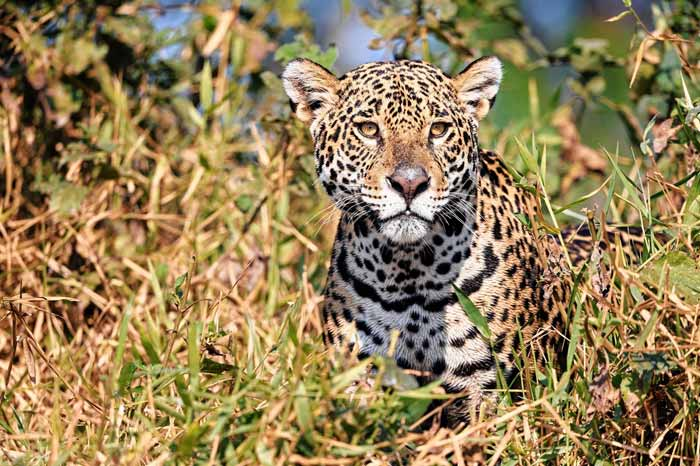 Jaguar largest of the big cats in the Americas - Ambergris Caye