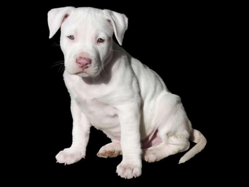 Image For Staffordshire Terrier Mix