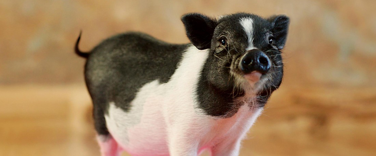 Worming Your Mini Pig - American Mini Pig Association