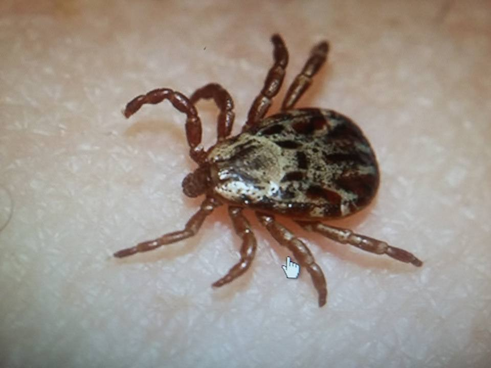 Identifying Swine Lice, Ticks, and Fleas -