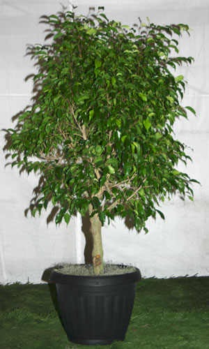 Benjamin Ficus Amherst Greenhouses Canada, Us Movies Trade Shows Plant