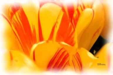 firey_tulip