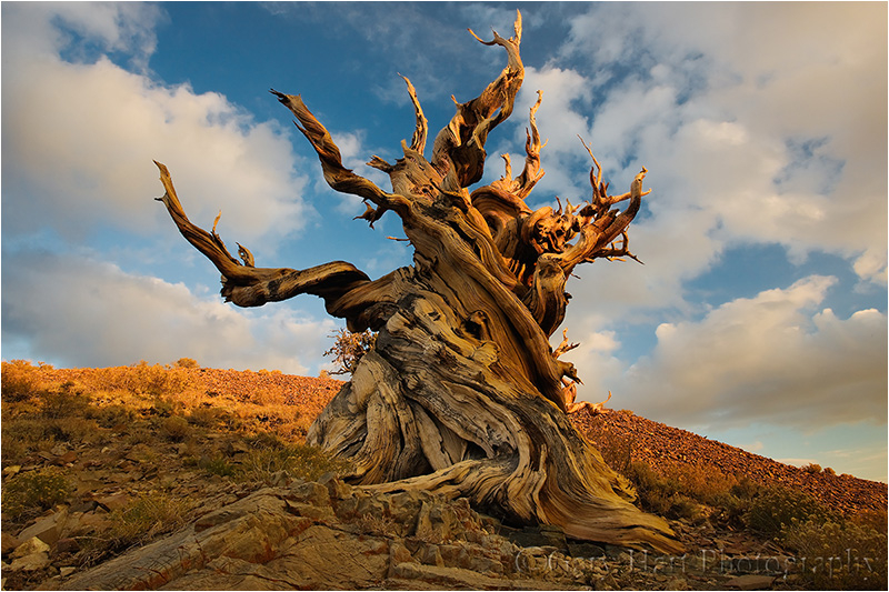 Fall Be Kind Wallpaper Bristlecone Pine White Mountains California Plant