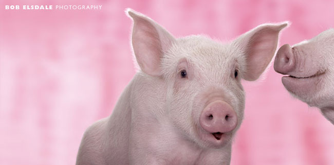 Cute Little Baby Girl Wallpapers Pretty Pigs In Pink By Bob Elsdale Amo