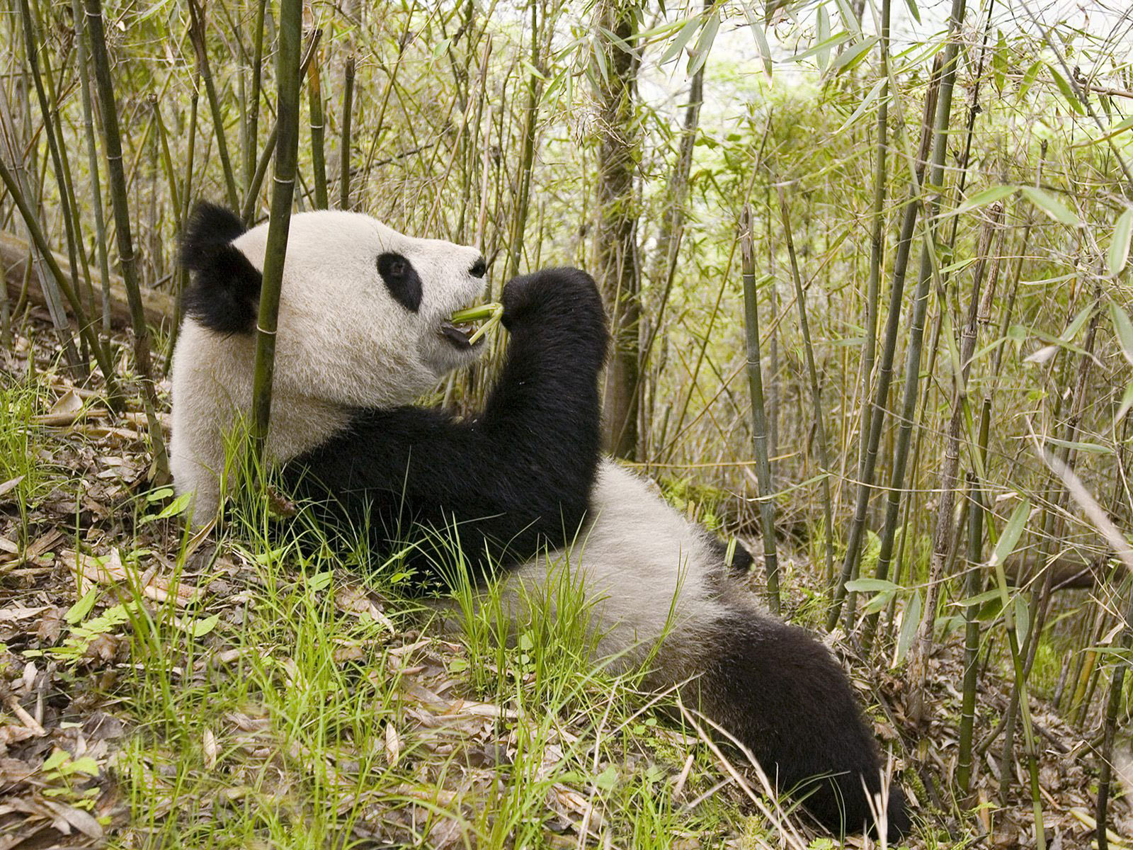 Cute Funny Wallpapers For Lazy Peopke Cute Panda Pictures Amo