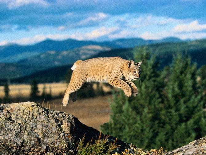 Bobcat Wallpaper Hd Hermosos Leopardos Tigres Leones Pumas Y Linces Im