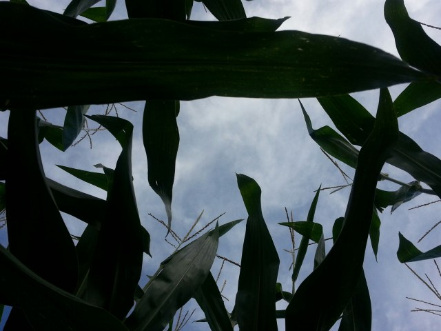 looking up through the corn stalks