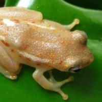 Reed Frogs