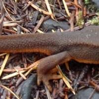 Rough Skinned Newt