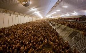 """Industrial """"free range"""" hens."""