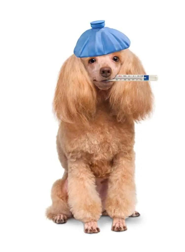 DogIceBagThermometerHot_41710243_original
