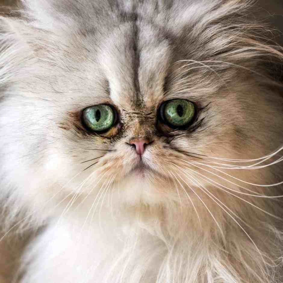 Beautiful Persian cat with white fur and gree-blue eyes
