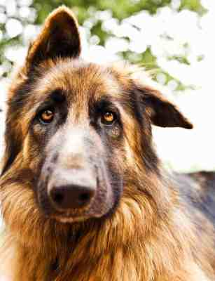 Photo of beautiful sad dog, closeup portrait of german shepherd, brown dog looking at camera, domestic animal playing outdoors, doggie face, adorable pedigreed dog, purebred canine, fluffy pet