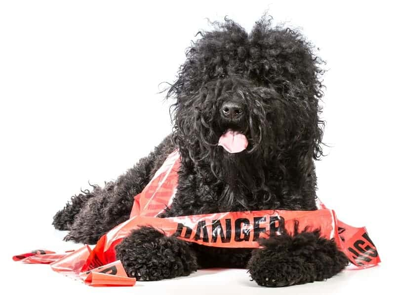 naughty dog - barbet wrapped in danger tape on white background