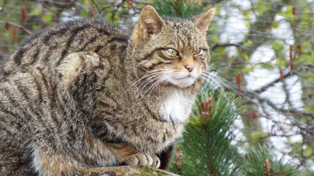 The Scottish Wildcat is like a fat house cat. We want one