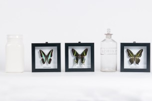 Encased butterfly hangings Product photography Anais Chaine professional Auckland photographer for Auckland museum www.anaischaine.com