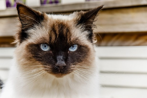 The stunning blue gray eyes of a Himalayan Blue point cat