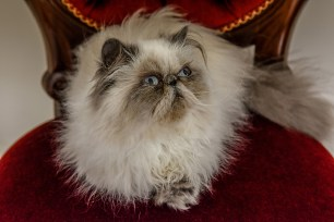 The persian cat stares haphazardly at the intruder