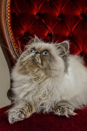 Persian cat staring up from it's royal red chair