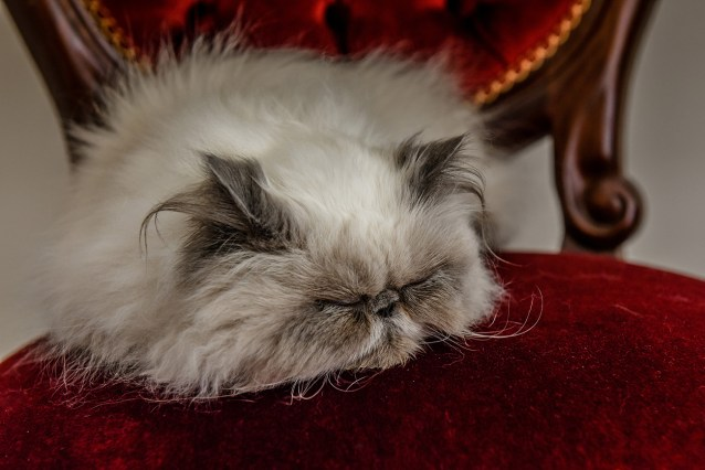 The persian cat takes a nap on it's red royal seat