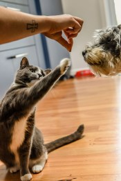An American Shorthair playing with it's food while a pup watches