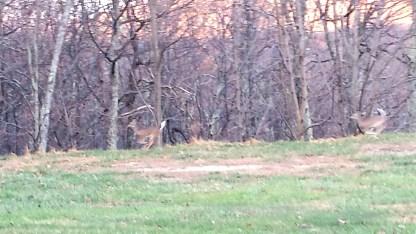 wintergreen-deer-running