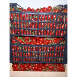 Small Crop Of Pressure Canning Tomatoes