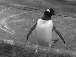 Edinburgh Zoo Nights- Gentoo Penguin