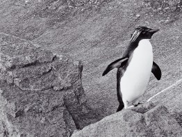 Edinburgh Zoo Nights- Northern Rockhopper Penguin
