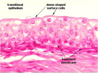 Epithelial Tissue  Anatomy  Physiology