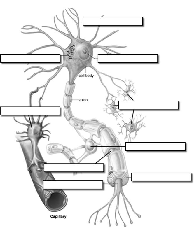 empty diagram of neuron