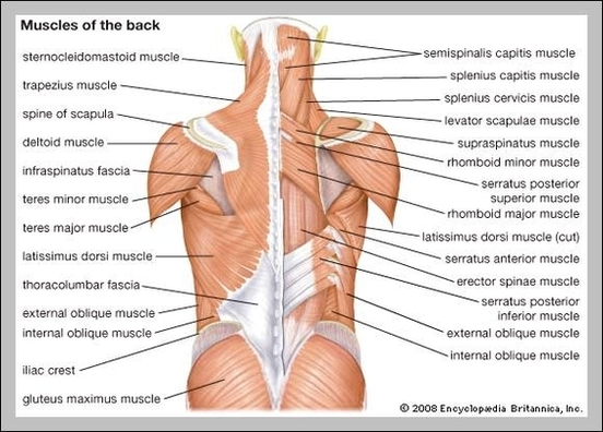 human muscles anatomy Anatomy System - Human Body Anatomy diagram