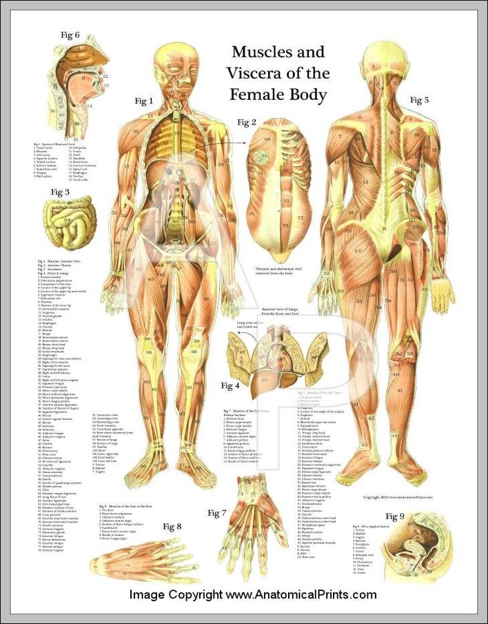 human muscles anatomy Anatomy System - Human Body Anatomy diagram