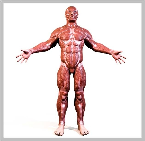 muscles diagram Anatomy System - Human Body Anatomy diagram and