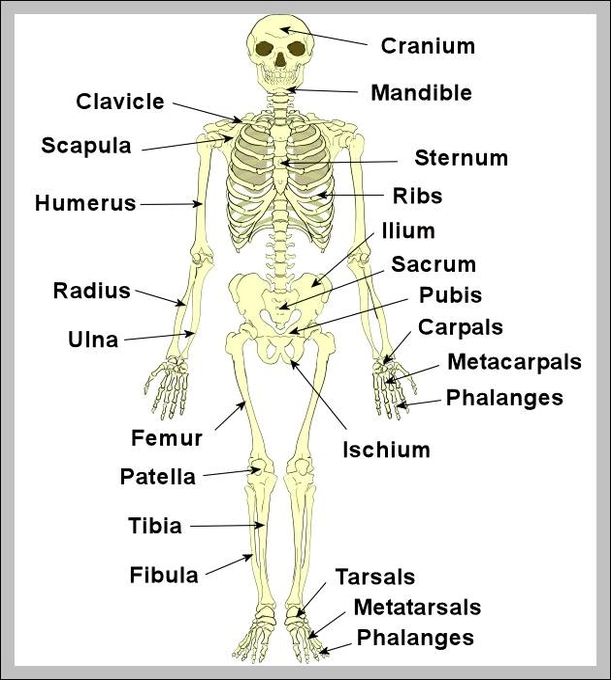 Bone Diagrams To Label Wiring Diagram