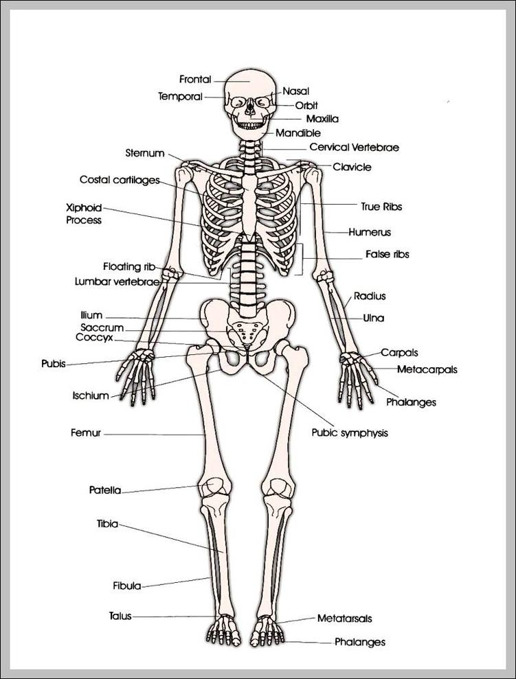 human skeleton Anatomy System - Human Body Anatomy diagram and