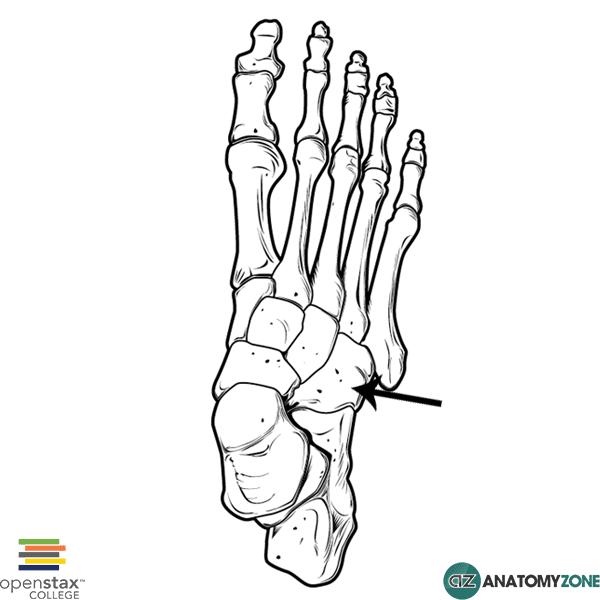 cuboid bone diagram
