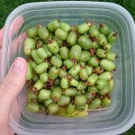 A container of Hardy northern kiwis from the garden