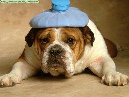 bulldog-with-headache.jpg