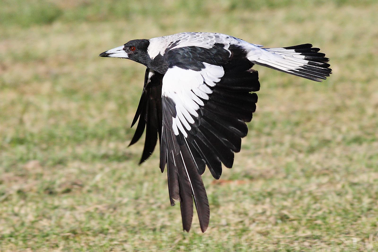 Quote Wallpaper Drive Australia Australian Magpies The Travel Bug